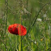 Coquelicots_Morges_24052010_0059