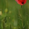 Coquelicots_Morges_24052010_0023