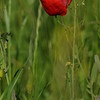 Coquelicots_Morges_24052010_0014