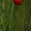 Coquelicots_Morges_24052010_0009