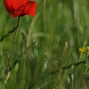Coquelicots_Morges_24052010_0035