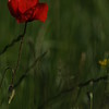 Coquelicots_Morges_24052010_0039