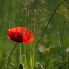 Coquelicots_Morges_24052010_0068