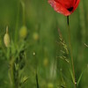 Coquelicots_Morges_24052010_0020