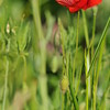Coquelicots_Morges_24052010_0034