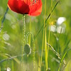 Coquelicots_Morges_24052010_0075