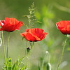 Coquelicots_Morges_24052010_0001
