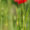 Coquelicots_Morges_24052010_0028