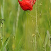 Coquelicots_Morges_24052010_0013