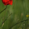 Coquelicots_Morges_24052010_0041