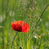 Coquelicots_Morges_24052010_0067
