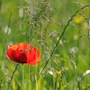 Coquelicots_Morges_24052010_0064