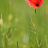 Coquelicots_Morges_24052010_0025