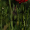 Coquelicots_Morges_24052010_0033