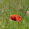 Coquelicots_Morges_24052010_0058