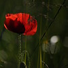Coquelicots_Morges_24052010_0072