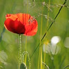 Coquelicots_Morges_24052010_0073