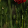 Coquelicots_Morges_24052010_0030