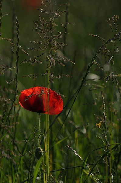 Coquelicots_Morges_24052010_0060