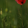Coquelicots_Morges_24052010_0024