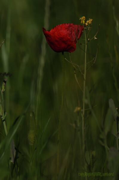 Coquelicots_Morges_24052010_0012
