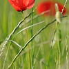 Coquelicots_Morges_24052010_0007