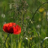 Coquelicots_Morges_24052010_0062