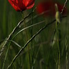 Coquelicots_Morges_24052010_0006