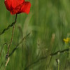 Coquelicots_Morges_24052010_0038