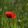 Coquelicots_Morges_24052010_0065