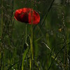Coquelicots_Morges_24052010_0051
