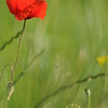Coquelicots_Morges_24052010_0043