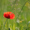 Coquelicots_Morges_24052010_0070