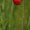 Coquelicots_Morges_24052010_0008