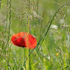 Coquelicots_Morges_24052010_0061