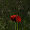 Coquelicots_Morges_24052010_0057