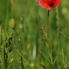 Coquelicots_Morges_24052010_0017