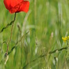 Coquelicots_Morges_24052010_0037