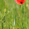 Coquelicots_Morges_24052010_0019