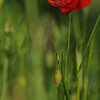 Coquelicots_Morges_24052010_0026