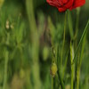 Coquelicots_Morges_24052010_0029