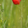 Coquelicots_Morges_24052010_0010