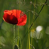 Coquelicots_Morges_24052010_0071