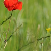 Coquelicots_Morges_24052010_0040