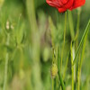 Coquelicots_Morges_24052010_0031