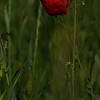 Coquelicots_Morges_24052010_0015