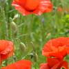 Poppys_Echichens_2015 (148)