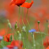 Poppys_Echichens_2015 (138)