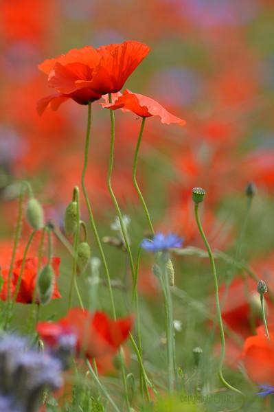 Poppys_Echichens_2015 (131)