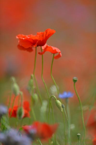 Poppys_Echichens_2015 (133)